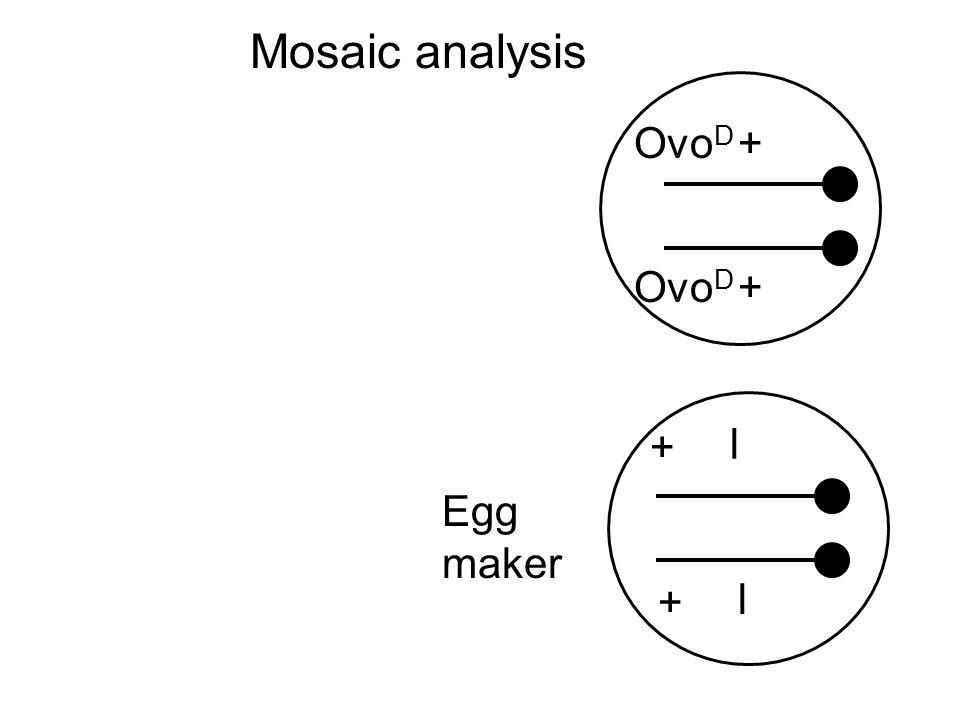 Ovo D l + + l + + Egg maker Mosaic analysis