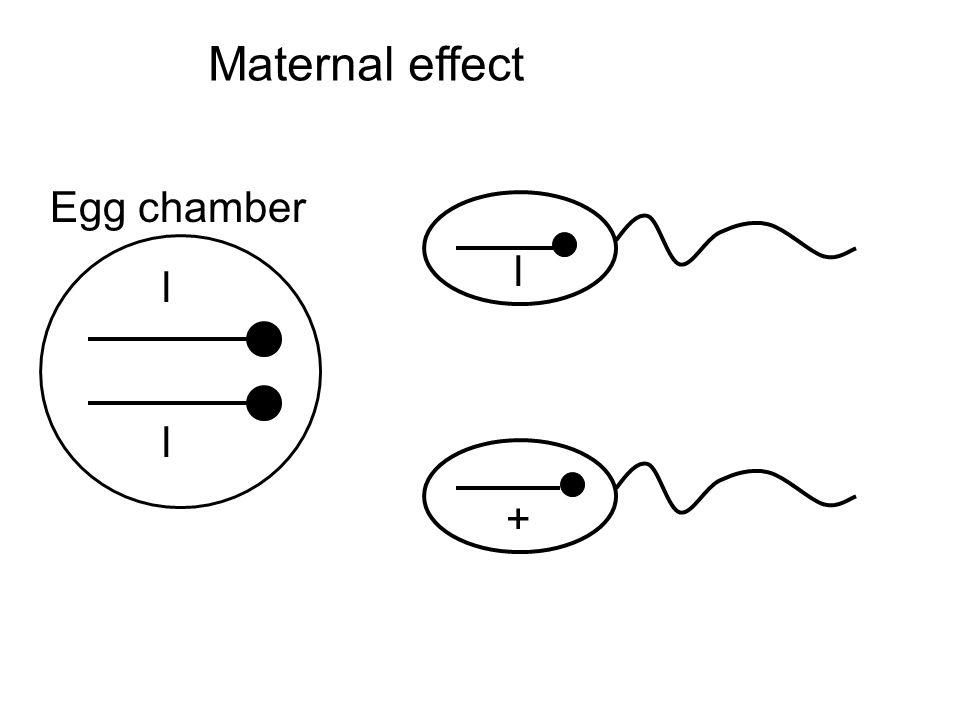 l l Egg chamber Maternal effect l +