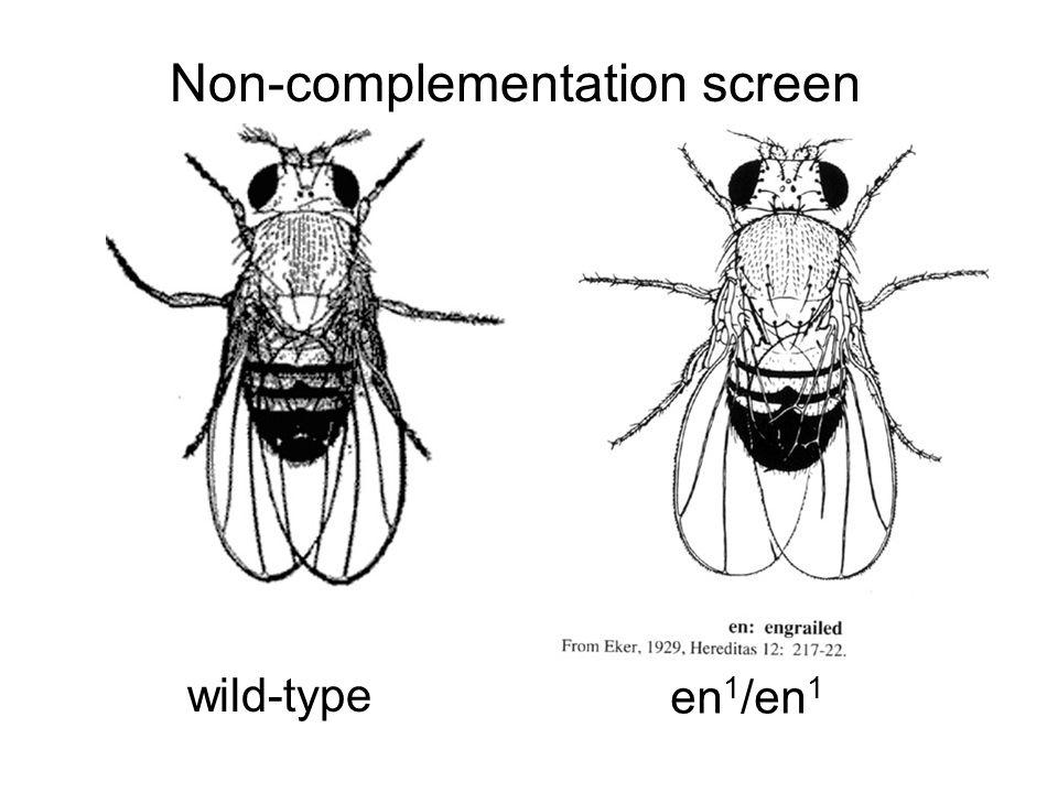 Non-complementation screen wild-type en 1 /en 1