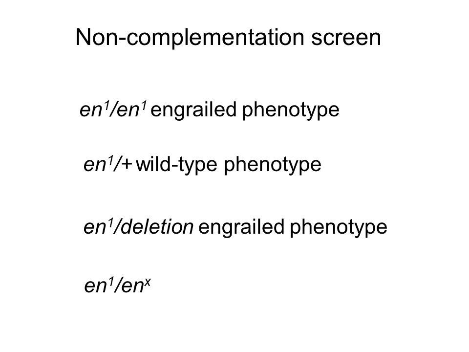 Non-complementation screen en 1 /en 1 engrailed phenotype en 1 /deletion engrailed phenotype en 1 /+ wild-type phenotype en 1 /en x
