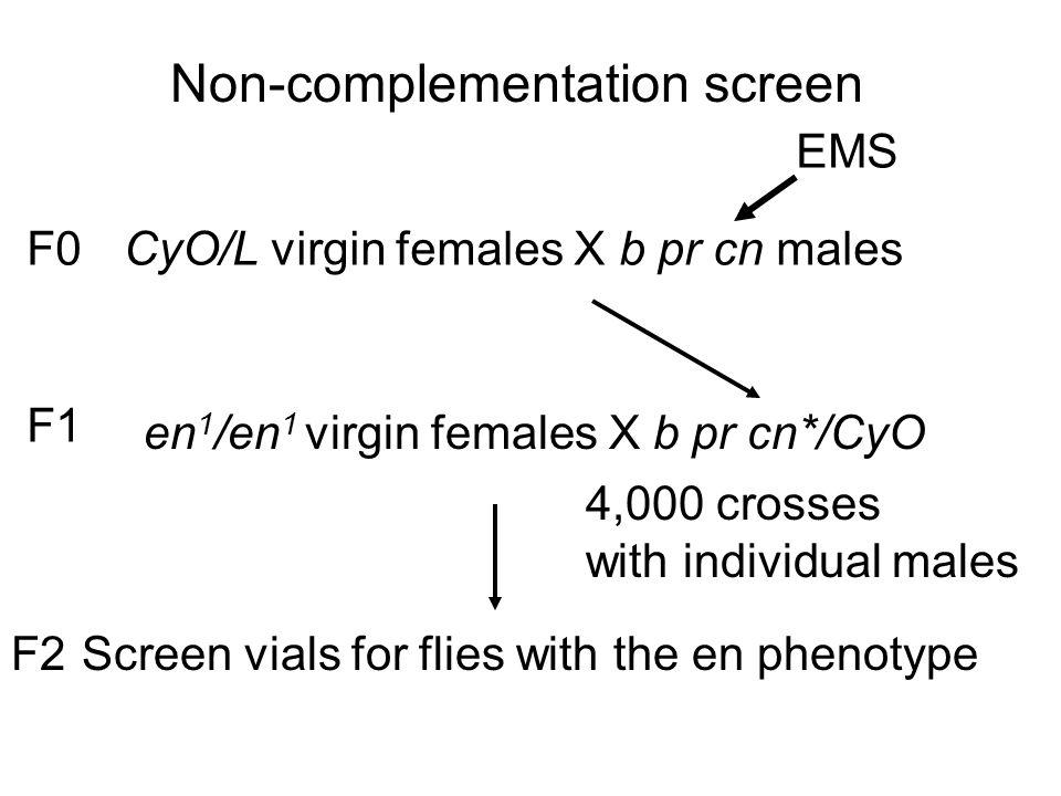 Non-complementation screen CyO/L virgin females X b pr cn males en 1 /en 1 virgin females X b pr cn*/CyO Screen vials for flies with the en phenotype