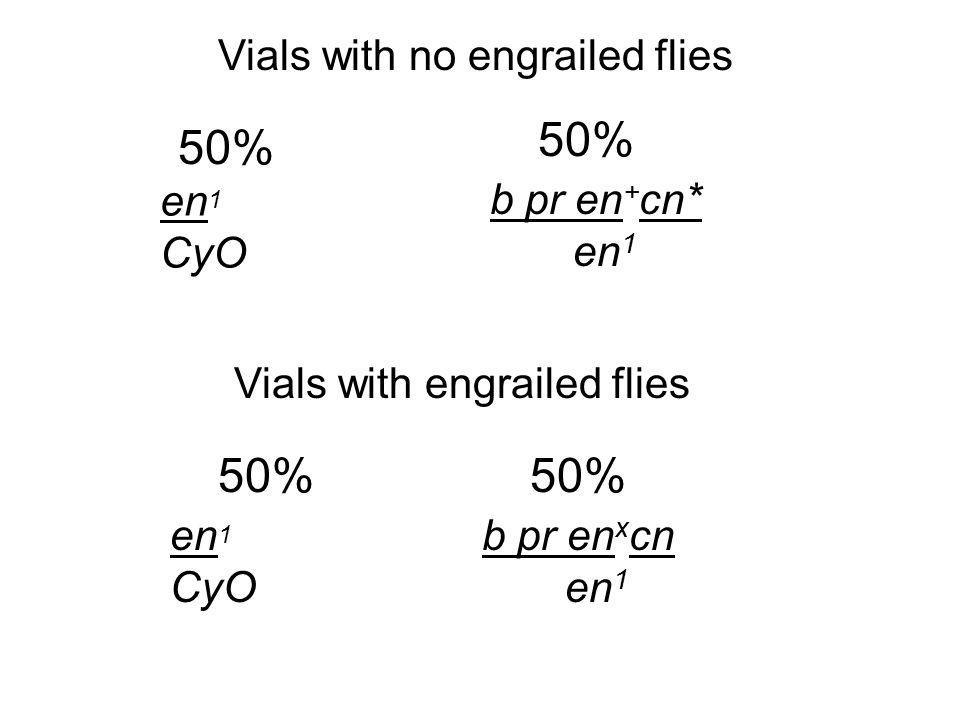 Vials with no engrailed flies Vials with engrailed flies en 1 CyO en 1 CyO b pr en + cn* en 1 b pr en x cn en 1 50%