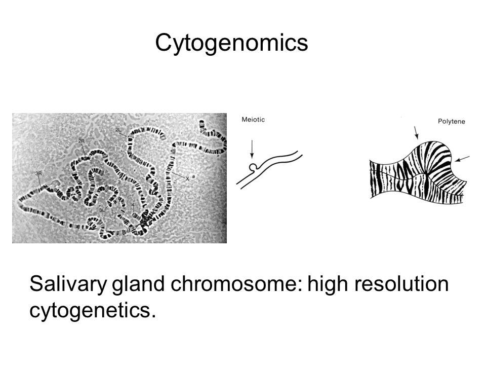 Cytogenomics Salivary gland chromosome: high resolution cytogenetics.