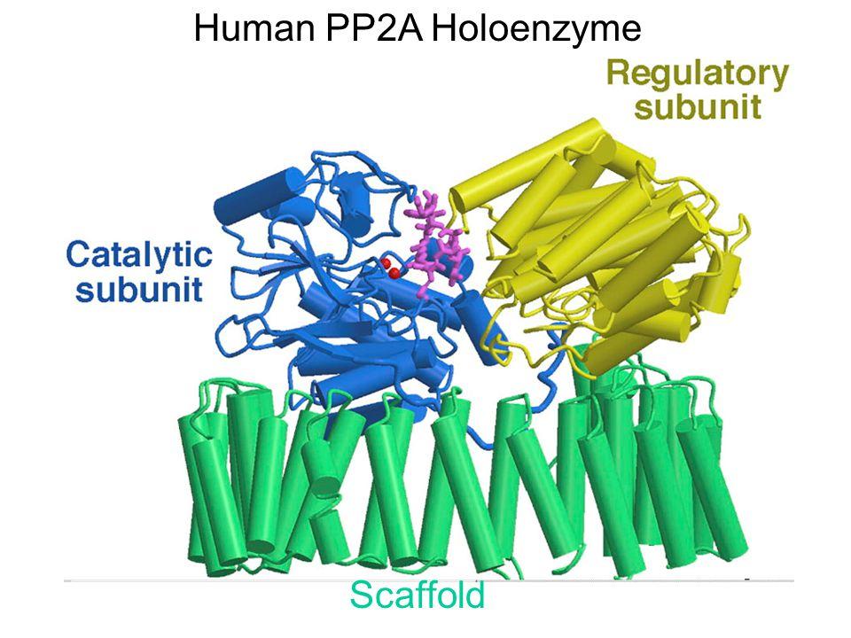 Scaffold Human PP2A Holoenzyme
