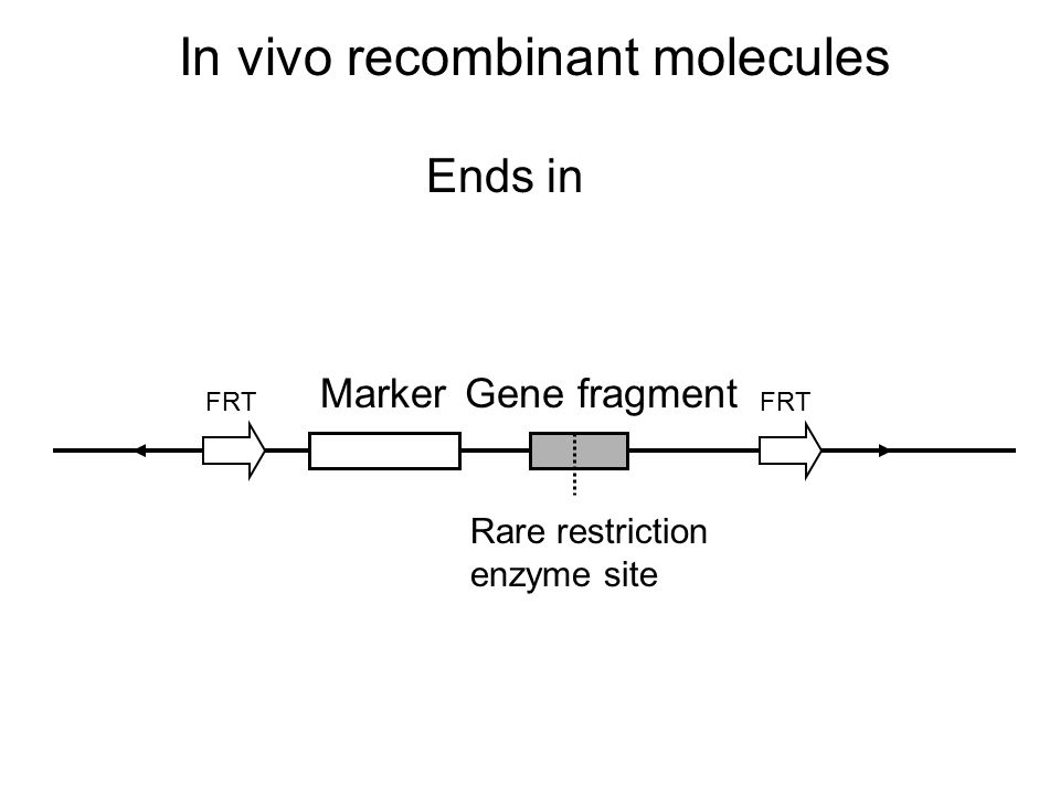 In vivo recombinant molecules Ends in FRT Marker Rare restriction enzyme site Gene fragment