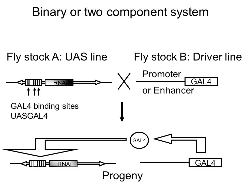 Binary or two component system Fly stock A: UAS lineFly stock B: Driver line RNAi GAL4 binding sites UASGAL4 GAL4 Promoter or Enhancer RNAi GAL4 Proge