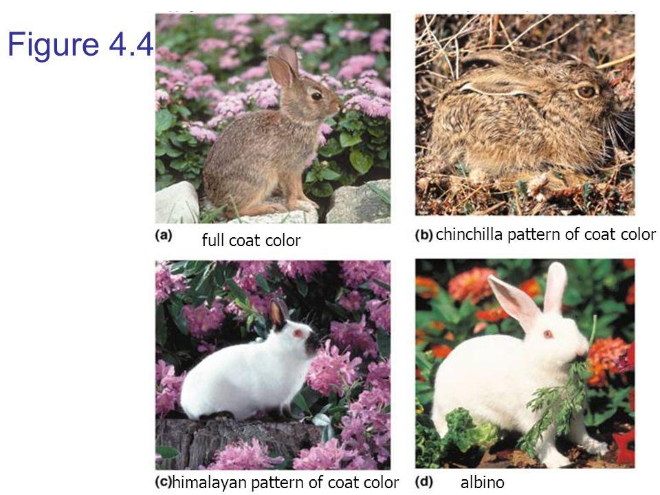 Figure 4.4 full coat color chinchilla pattern of coat color himalayan pattern of coat coloralbino