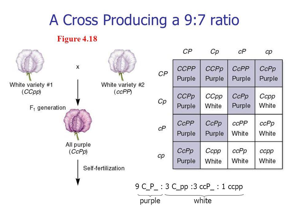 A Cross Producing a 9:7 ratio Figure 4.18 9 C_P_ : 3 C_pp :3 ccP_ : 1 ccpp purplewhite