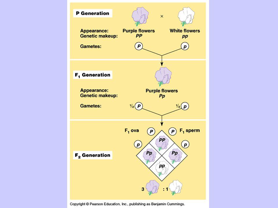 b) heterozygous for all three traits PpRrYy x PpRrYy  PpRrYy Treat as 3 separate monohybrid crosses Pp x Pp – prob.