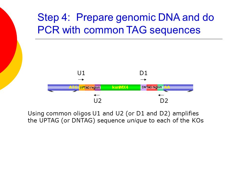 U1D1 U2D2 Using common oligos U1 and U2 (or D1 and D2) amplifies the UPTAG (or DNTAG) sequence unique to each of the KOs Step 4: Prepare genomic DNA and do PCR with common TAG sequences