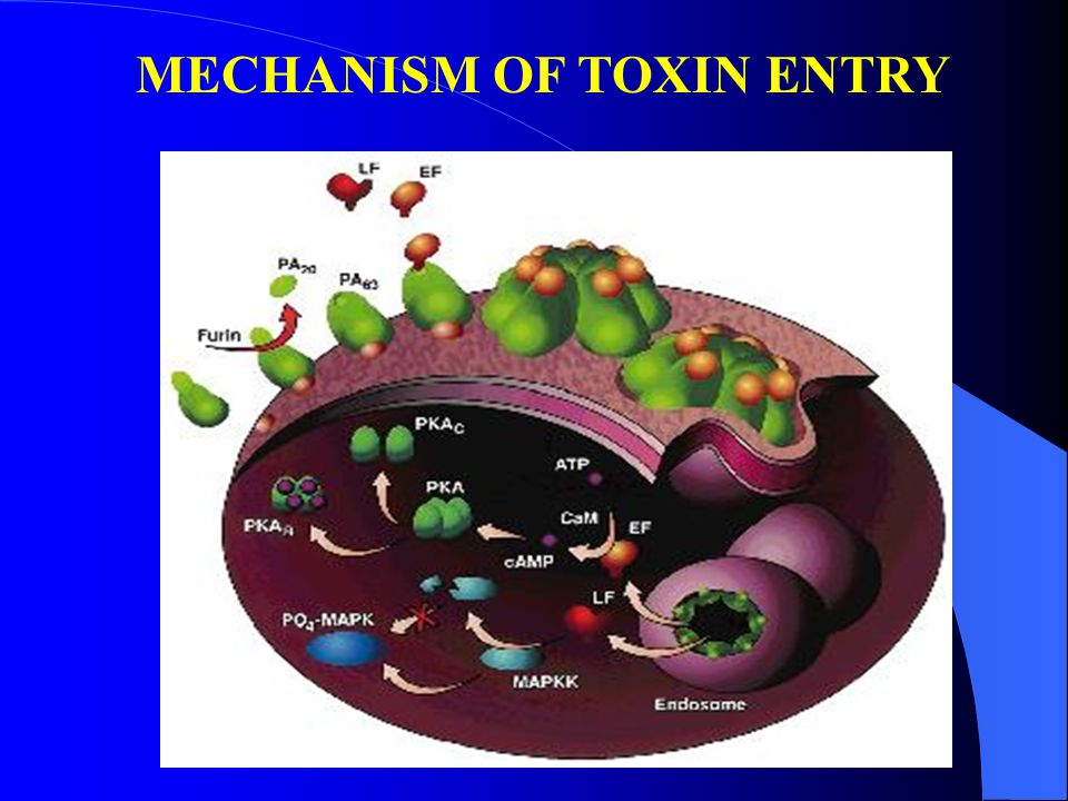 MECHANISM OF TOXIN ENTRY