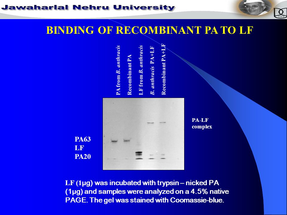 BINDING OF RECOMBINANT PA TO LF PA-LF complex LF (1 µg) was incubated with trypsin – nicked PA (1µg) and samples were analyzed on a 4.5% native PAGE.