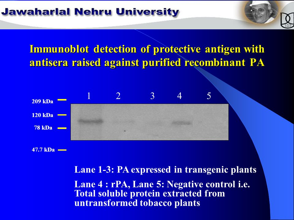 Immunoblot detection of protective antigen with antisera raised against purified recombinant PA 78 kDa 209 kDa 120 kDa 47.7 kDa 1 2 3 4 5 Lane 1-3: PA expressed in transgenic plants Lane 4 : rPA, Lane 5: Negative control i.e.