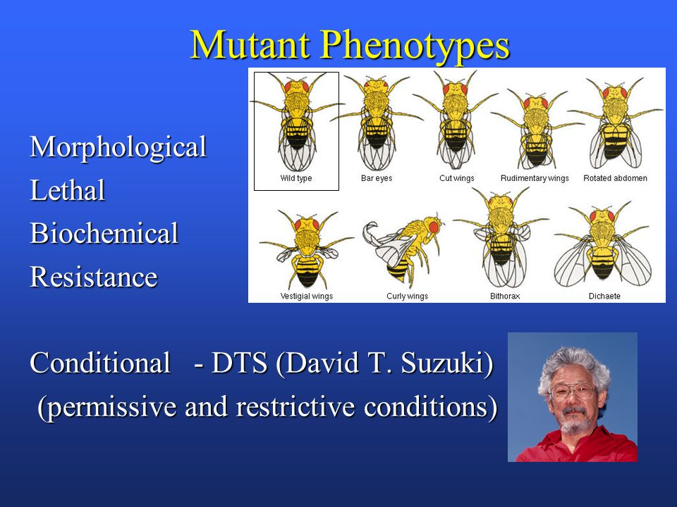 Mutant Phenotypes MorphologicalLethalBiochemicalResistance Conditional - DTS (David T.