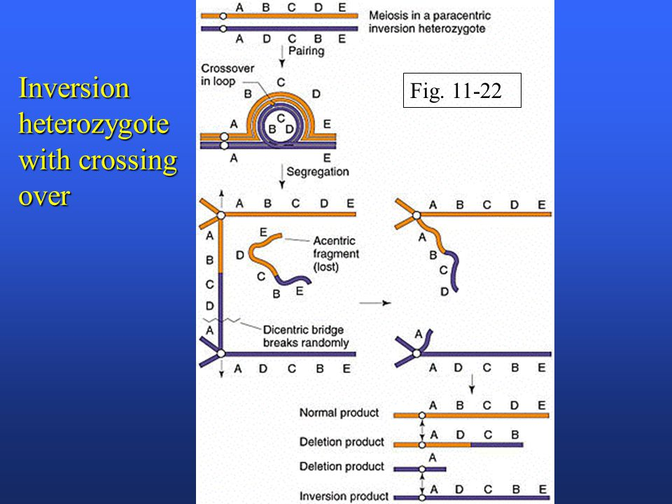 Inversion heterozygote with crossing over Fig. 11-22