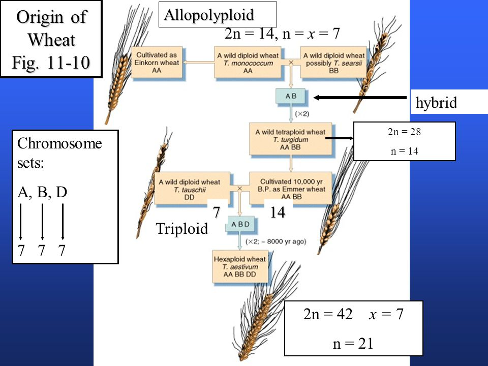 Triploid 2n = 42 x = 7 n = 21 2n = 14, n = x = 7 Chromosome sets: A, B, D 7 7 7 hybrid Origin of Wheat Fig.