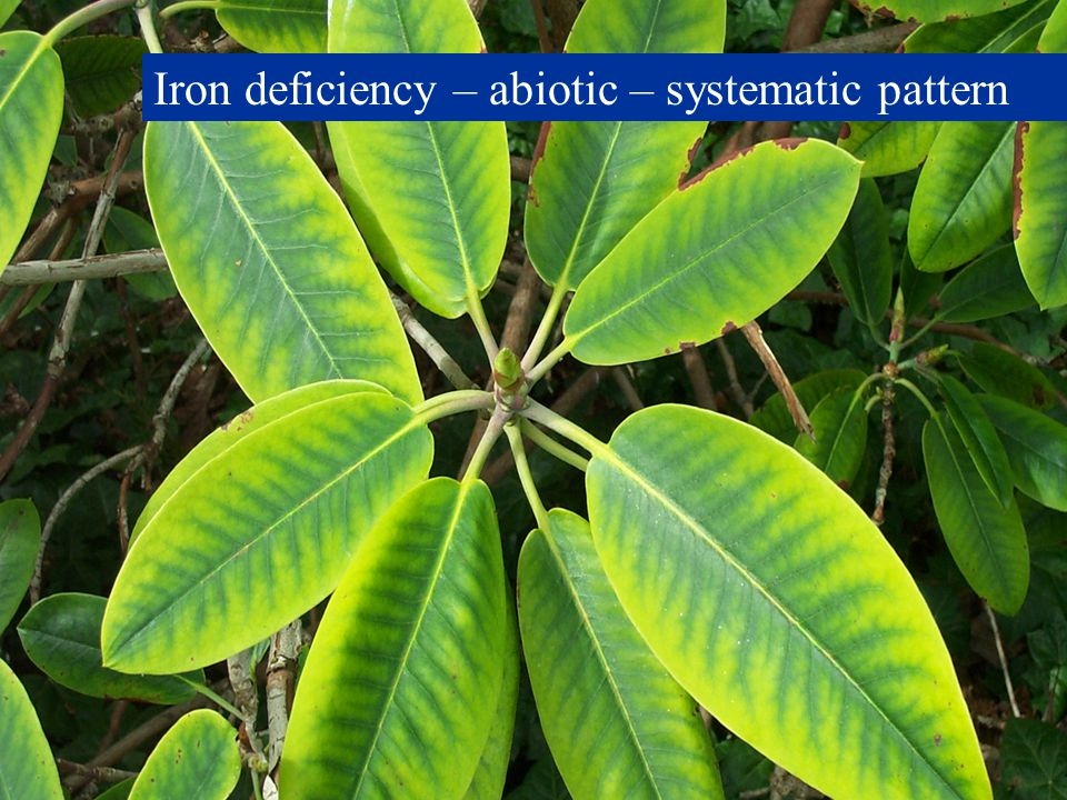 Iron deficiency – abiotic – systematic pattern