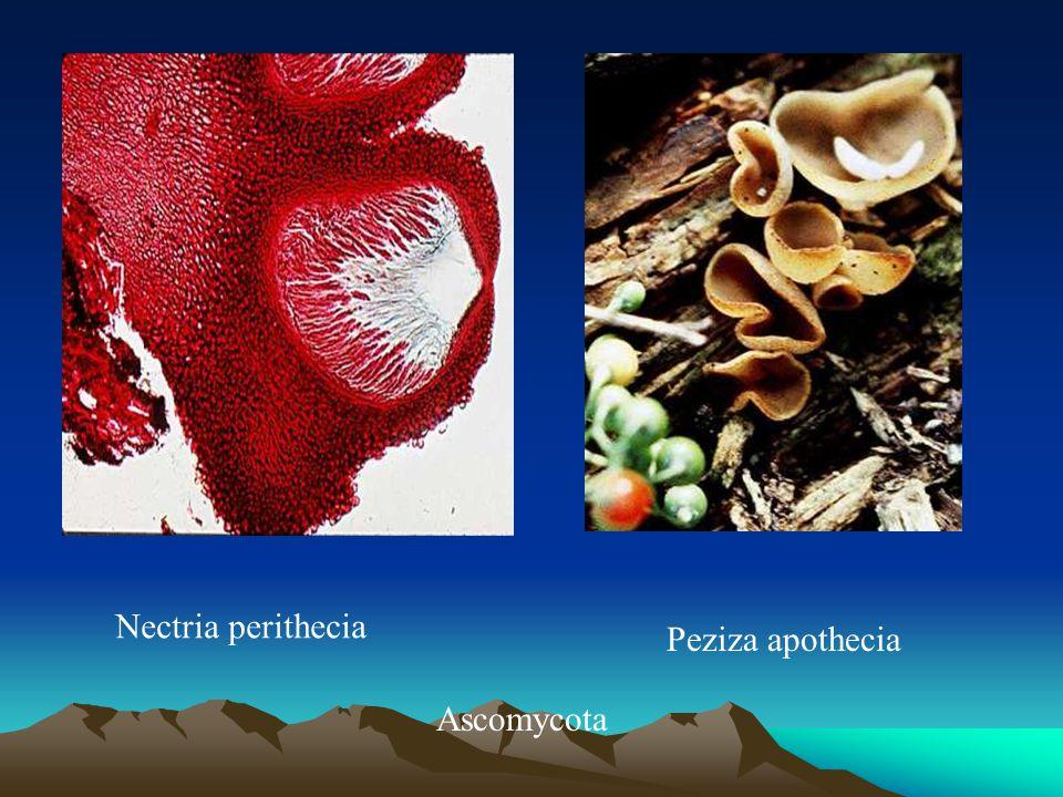 Nectria perithecia Ascomycota Peziza apothecia
