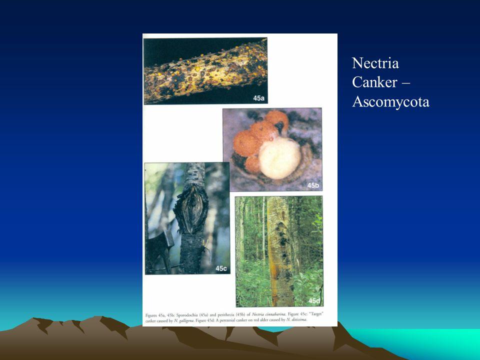 Nectria Canker – Ascomycota
