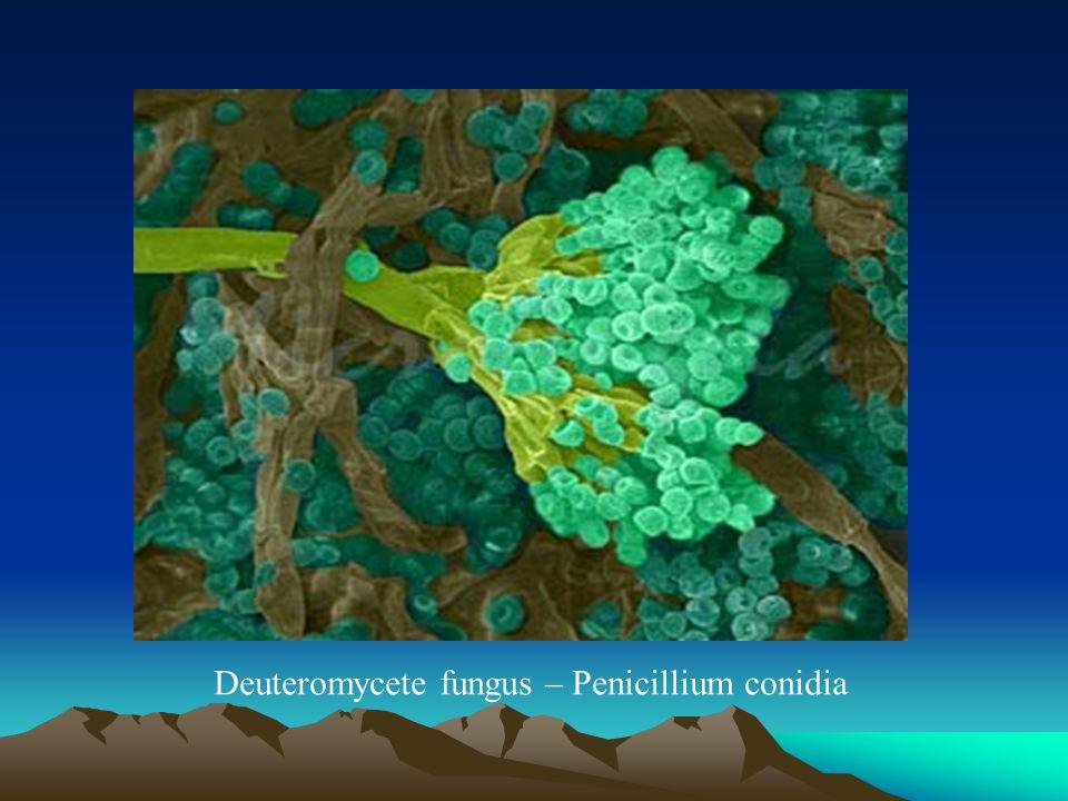 Deuteromycete fungus – Penicillium conidia