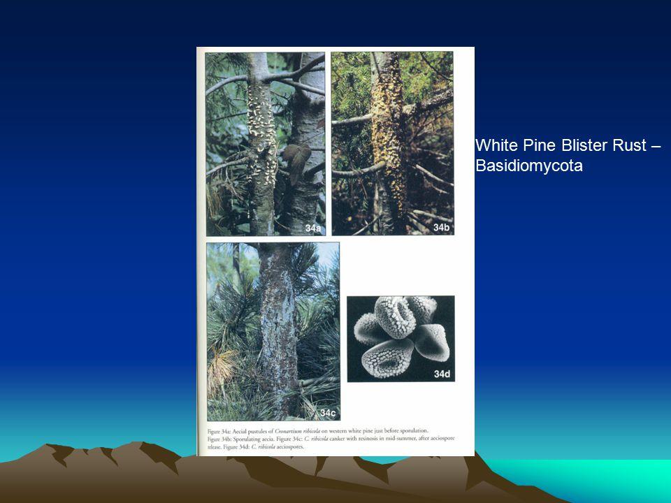 White Pine Blister Rust – Basidiomycota