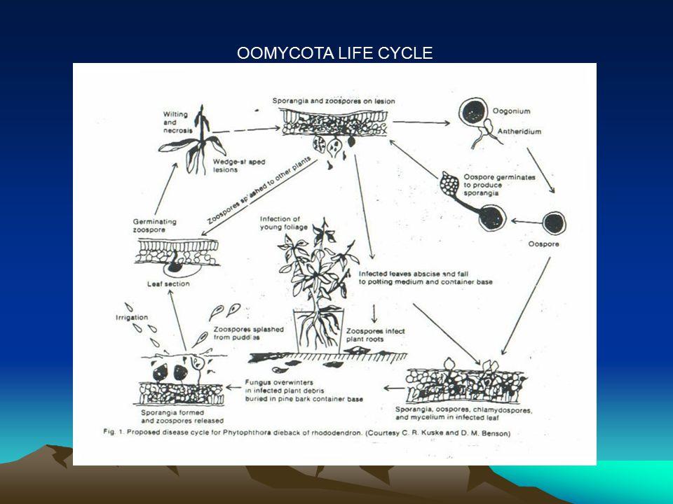 OOMYCOTA LIFE CYCLE