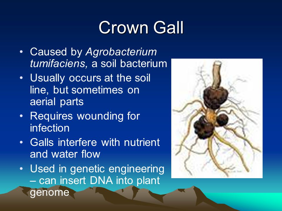 Crown Gall Caused by Agrobacterium tumifaciens, a soil bacterium Usually occurs at the soil line, but sometimes on aerial parts Requires wounding for infection Galls interfere with nutrient and water flow Used in genetic engineering – can insert DNA into plant genome
