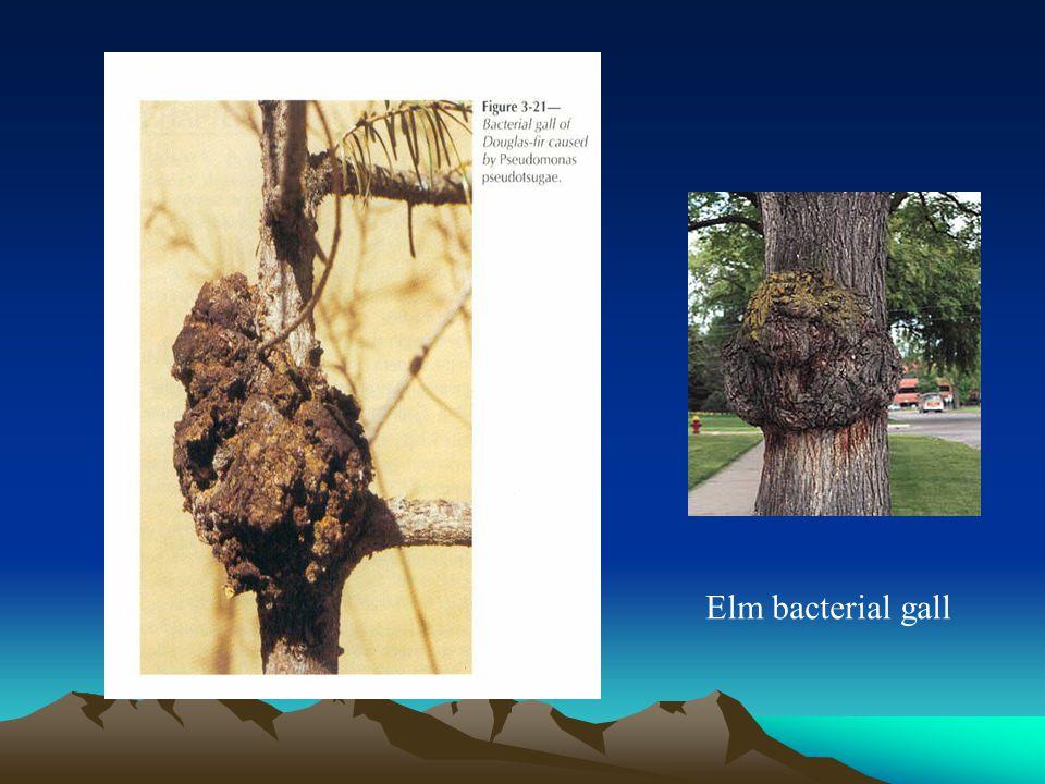 Elm bacterial gall