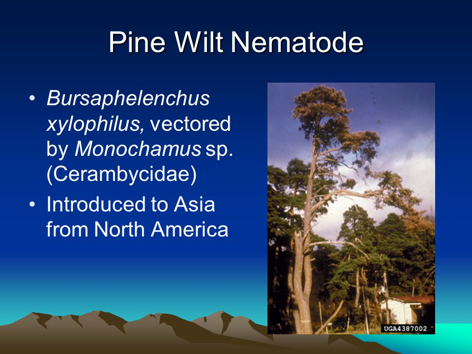 Pine Wilt Nematode Bursaphelenchus xylophilus, vectored by Monochamus sp. (Cerambycidae) Introduced to Asia from North America