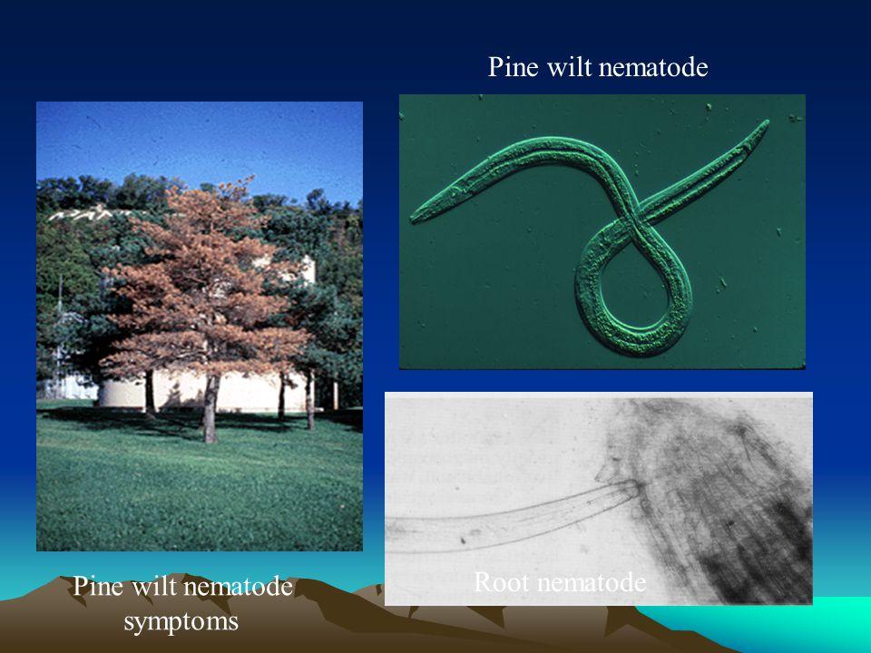 Root nematode Pine wilt nematode symptoms Pine wilt nematode