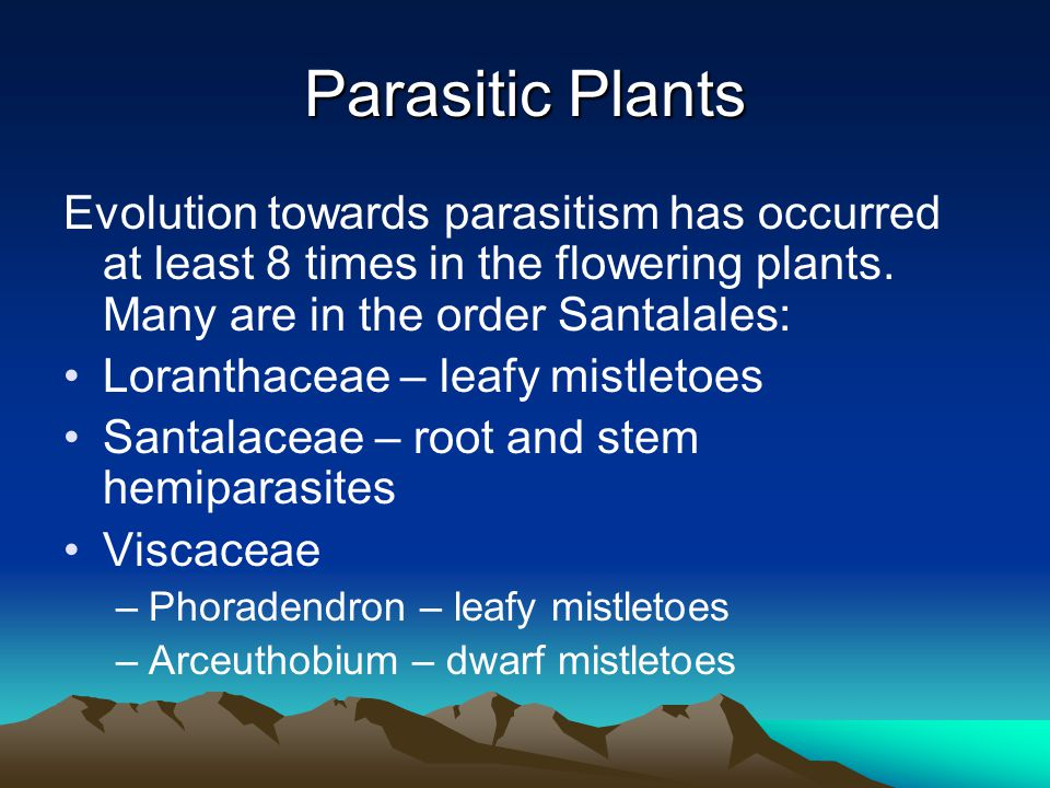 Parasitic Plants Evolution towards parasitism has occurred at least 8 times in the flowering plants.