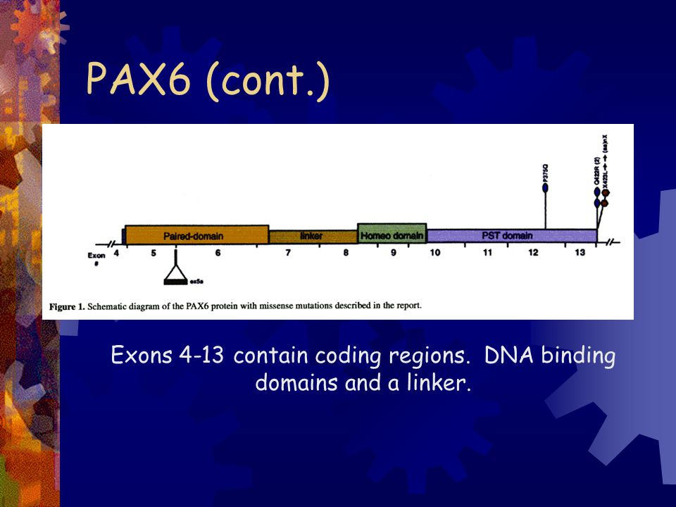 PAX6 mutations Sequence differences between normal and CN.