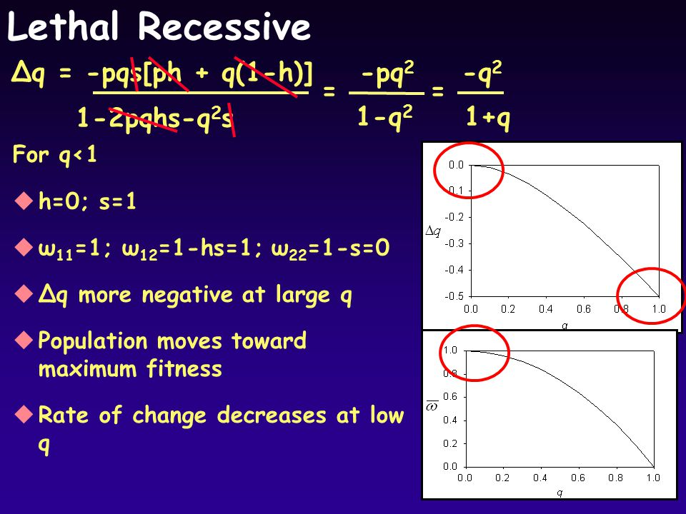 Lethal Recessive For q<1 uh=0; s=1 uω 11 =1; ω 12 =1-hs=1; ω 22 =1-s=0 uΔq more negative at large q uPopulation moves toward maximum fitness uRate of change decreases at low q Δq = -pqs[ph + q(1-h)] 1-2pqhs-q 2 s -pq 2 1-q 2 = -q 2 1+q =