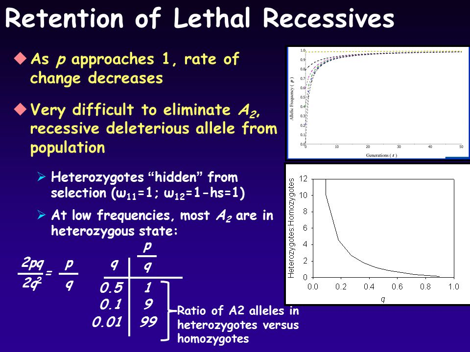 Retention of Lethal Recessives uAs p approaches 1, rate of change decreases uVery difficult to eliminate A 2, recessive deleterious allele from population  Heterozygotes hidden from selection (ω 11 =1; ω 12 =1-hs=1)  At low frequencies, most A 2 are in heterozygous state: q p 2q 2 2pq = q p q 0.5 0.1 0.01 1 9 99 Ratio of A2 alleles in heterozygotes versus homozygotes