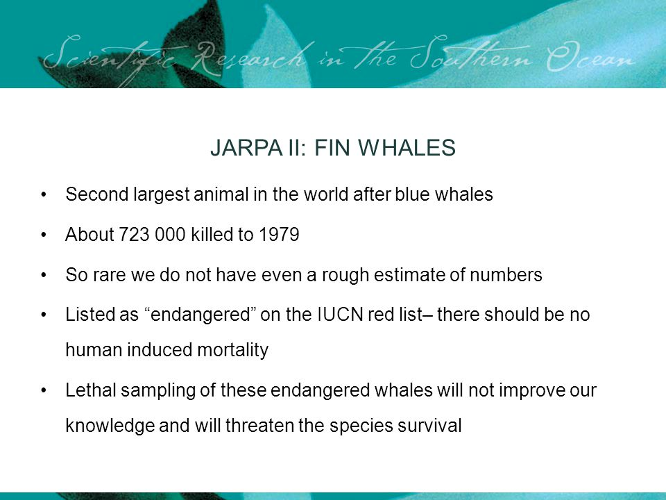 JARPA II: FIN WHALES Second largest animal in the world after blue whales About 723 000 killed to 1979 So rare we do not have even a rough estimate of numbers Listed as endangered on the IUCN red list– there should be no human induced mortality Lethal sampling of these endangered whales will not improve our knowledge and will threaten the species survival