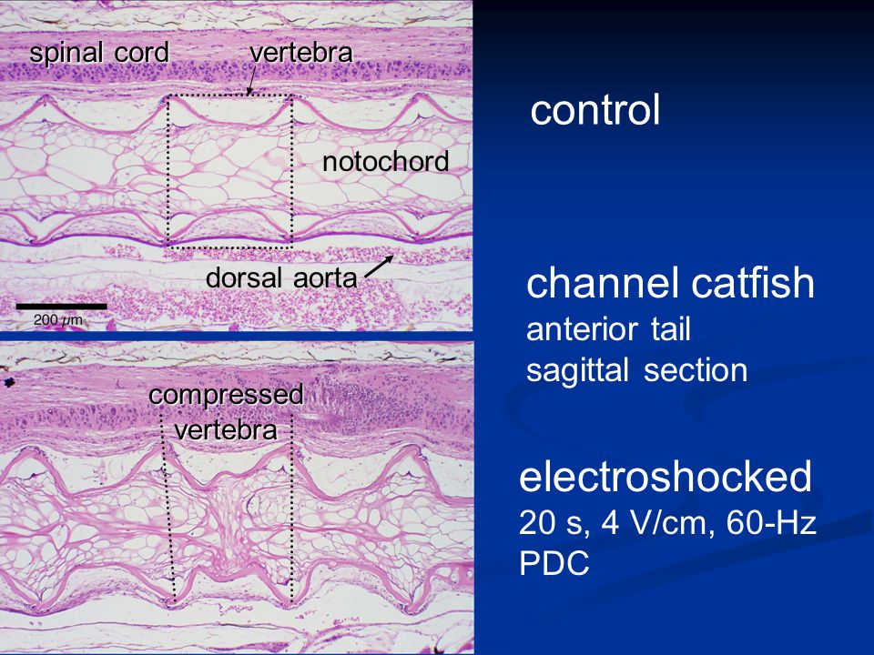 channel catfish anterior tail sagittal section control electroshocked 20 s, 4 V/cm, 60-Hz PDC spinal cord dorsal aorta vertebra notochord compressed vertebra
