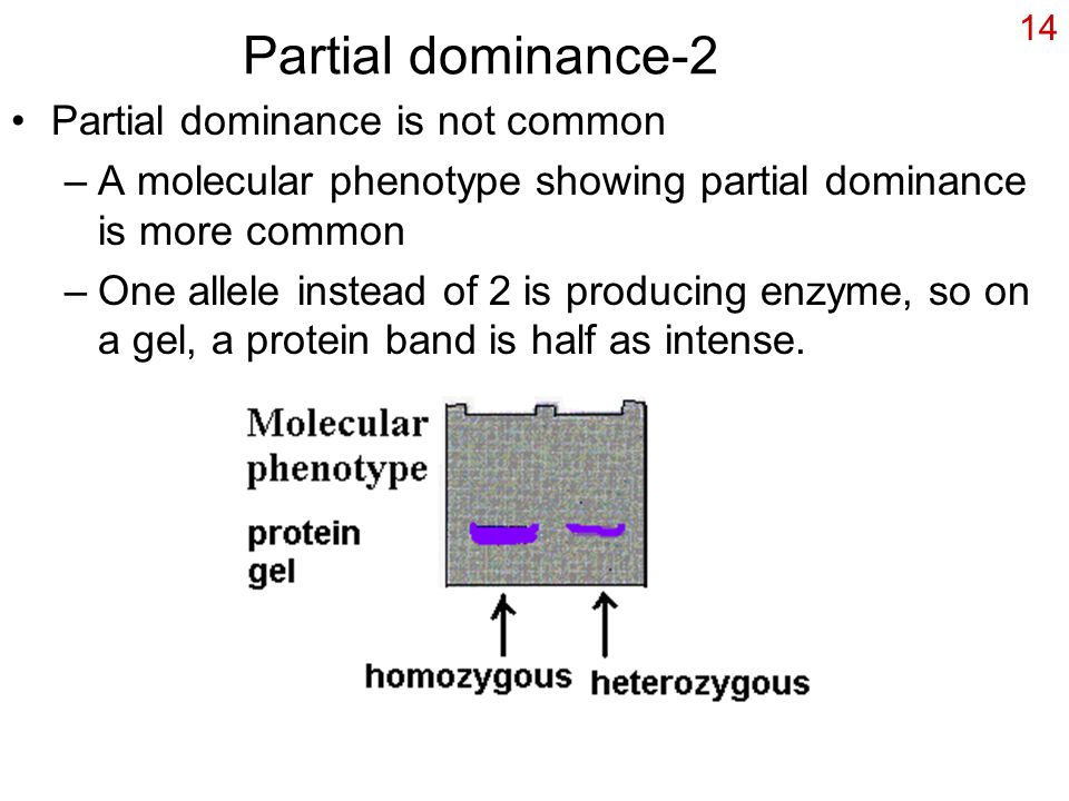 14 Partial dominance-2 Partial dominance is not common –A molecular phenotype showing partial dominance is more common –One allele instead of 2 is producing enzyme, so on a gel, a protein band is half as intense.