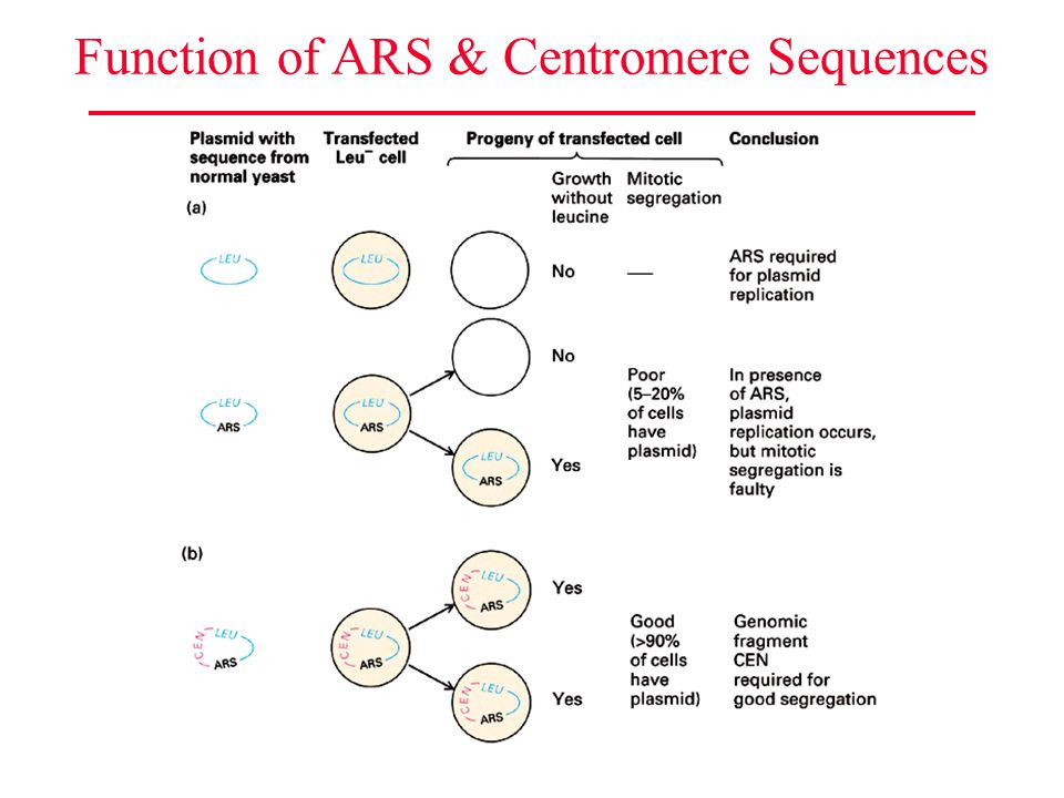 Function of ARS & Centromere Sequences