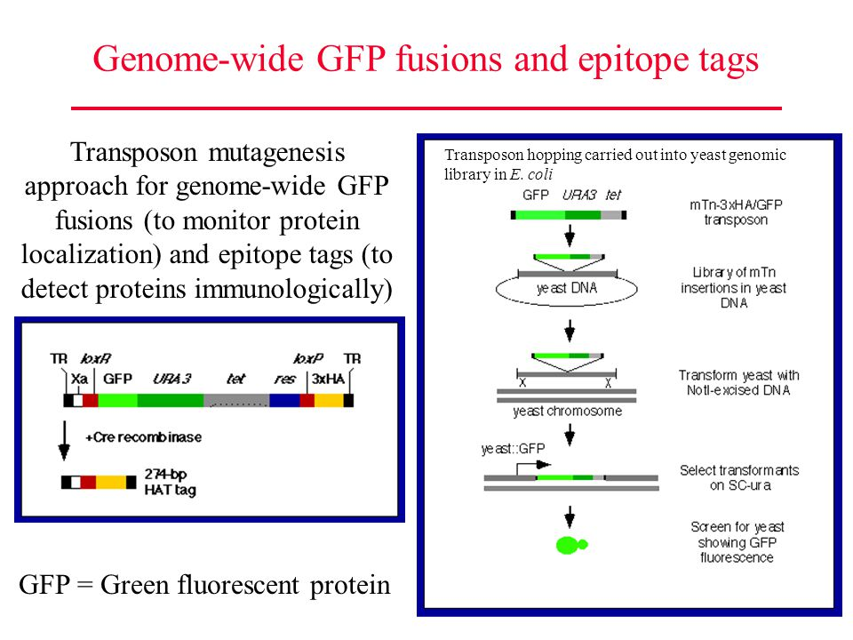 Genome-wide GFP fusions and epitope tags Transposon mutagenesis approach for genome-wide GFP fusions (to monitor protein localization) and epitope tag