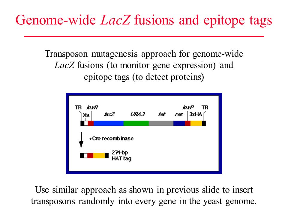Genome-wide LacZ fusions and epitope tags Transposon mutagenesis approach for genome-wide LacZ fusions (to monitor gene expression) and epitope tags (