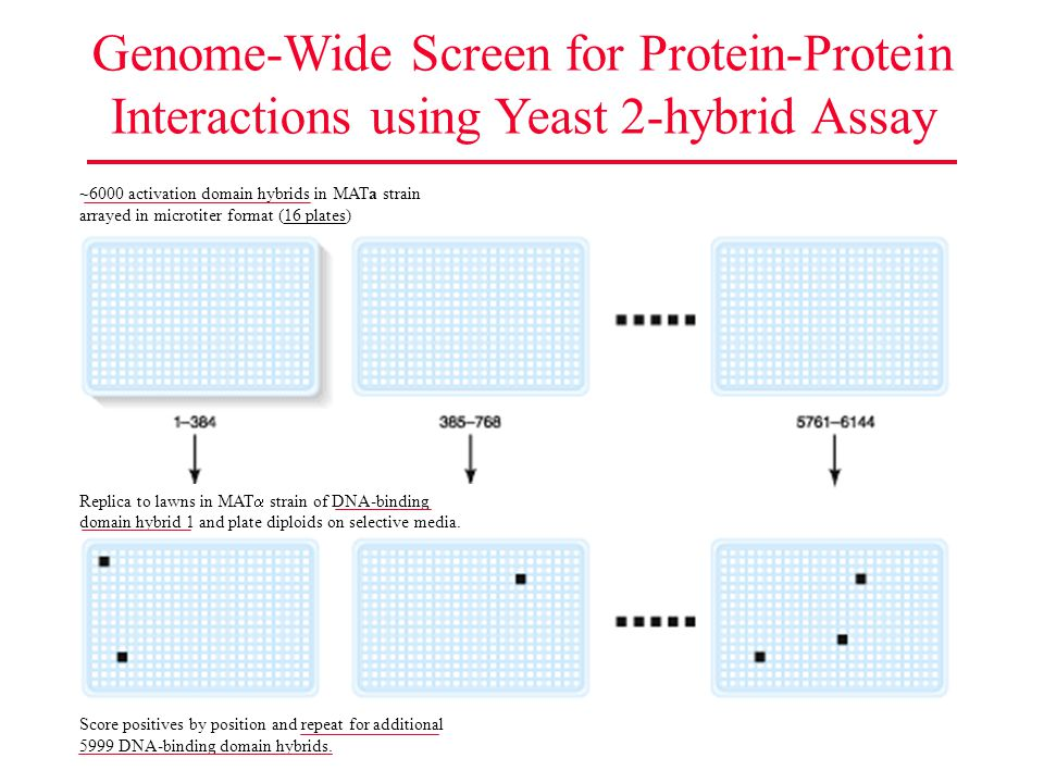 Genome-Wide Screen for Protein-Protein Interactions using Yeast 2-hybrid Assay Score positives by position and repeat for additional 5999 DNA-binding