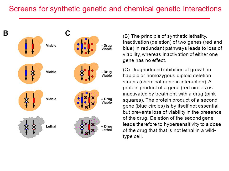 (B) The principle of synthetic lethality. Inactivation (deletion) of two genes (red and blue) in redundant pathways leads to loss of viability, wherea