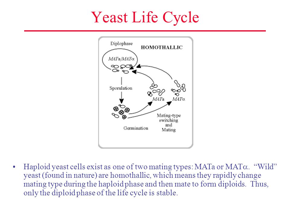 Yeast Life Cycle (cont.) Laboratory yeast strains are heterothallic due to a mutation in the gene encoding HO recombinase.