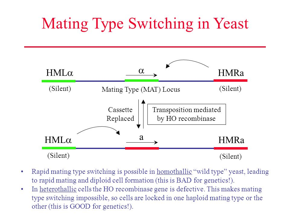 Mating Type Switching in Yeast HML  HMRa Mating Type (MAT) Locus  Transposition mediated by HO recombinase HML  HMRa a Cassette Replaced (Silent) R