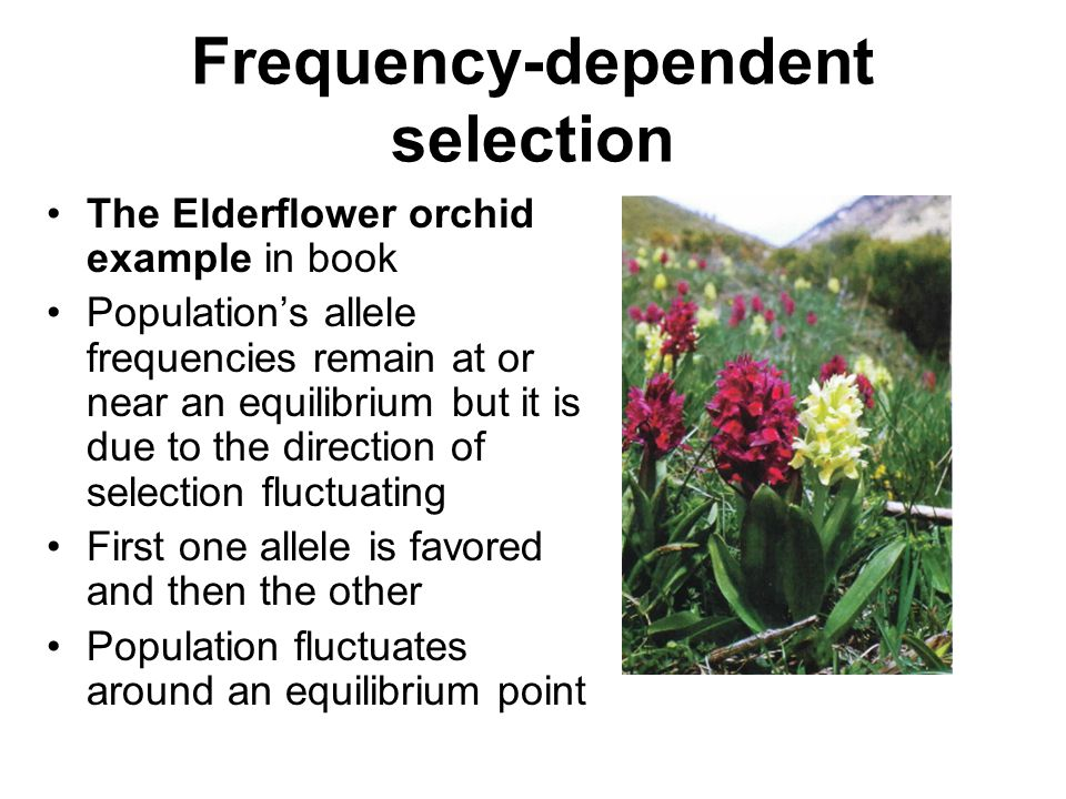 Frequency-dependent selection The Elderflower orchid example in book Population's allele frequencies remain at or near an equilibrium but it is due to the direction of selection fluctuating First one allele is favored and then the other Population fluctuates around an equilibrium point