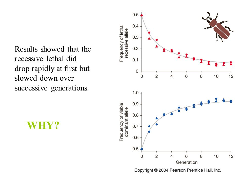 Results showed that the recessive lethal did drop rapidly at first but slowed down over successive generations. WHY?