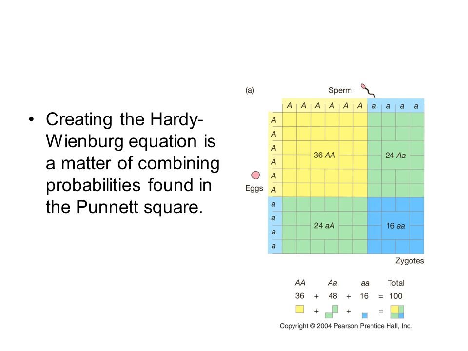 Creating the Hardy- Wienburg equation is a matter of combining probabilities found in the Punnett square.