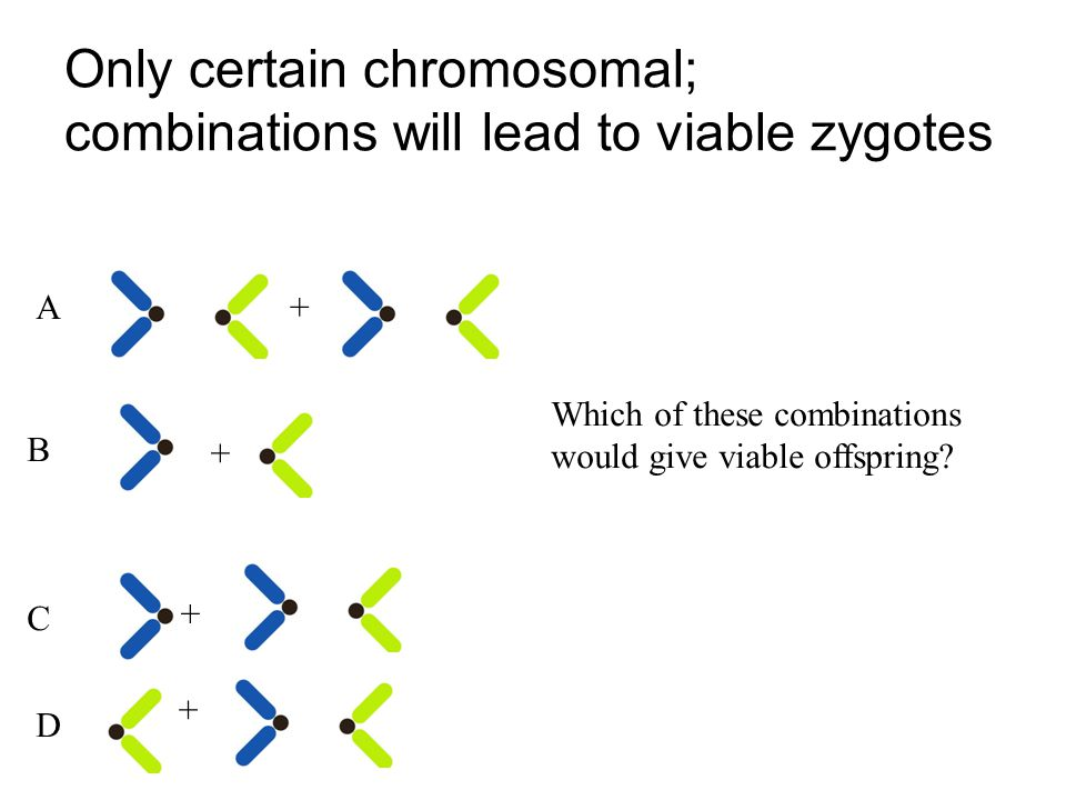 Only certain chromosomal; combinations will lead to viable zygotes + + + + Which of these combinations would give viable offspring.