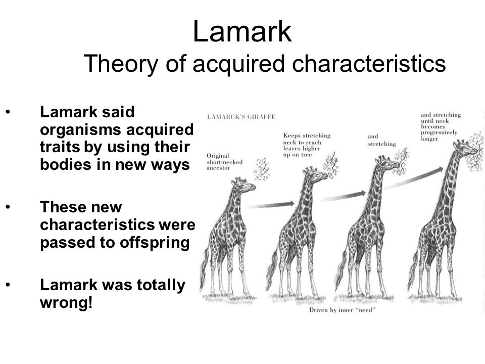 Lamark Theory of acquired characteristics Lamark said organisms acquired traits by using their bodies in new ways These new characteristics were passed to offspring Lamark was totally wrong!