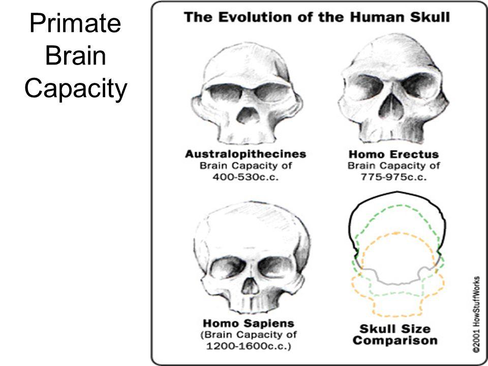 Primate Brain Capacity